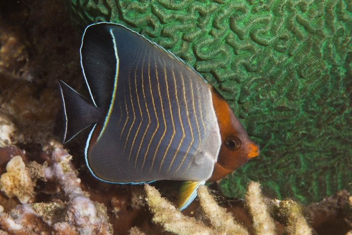 Chaetodon larvatus, Mark Priest